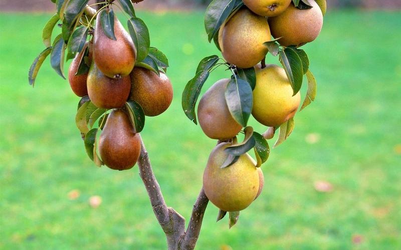 Выращивание груши в крыму 2924