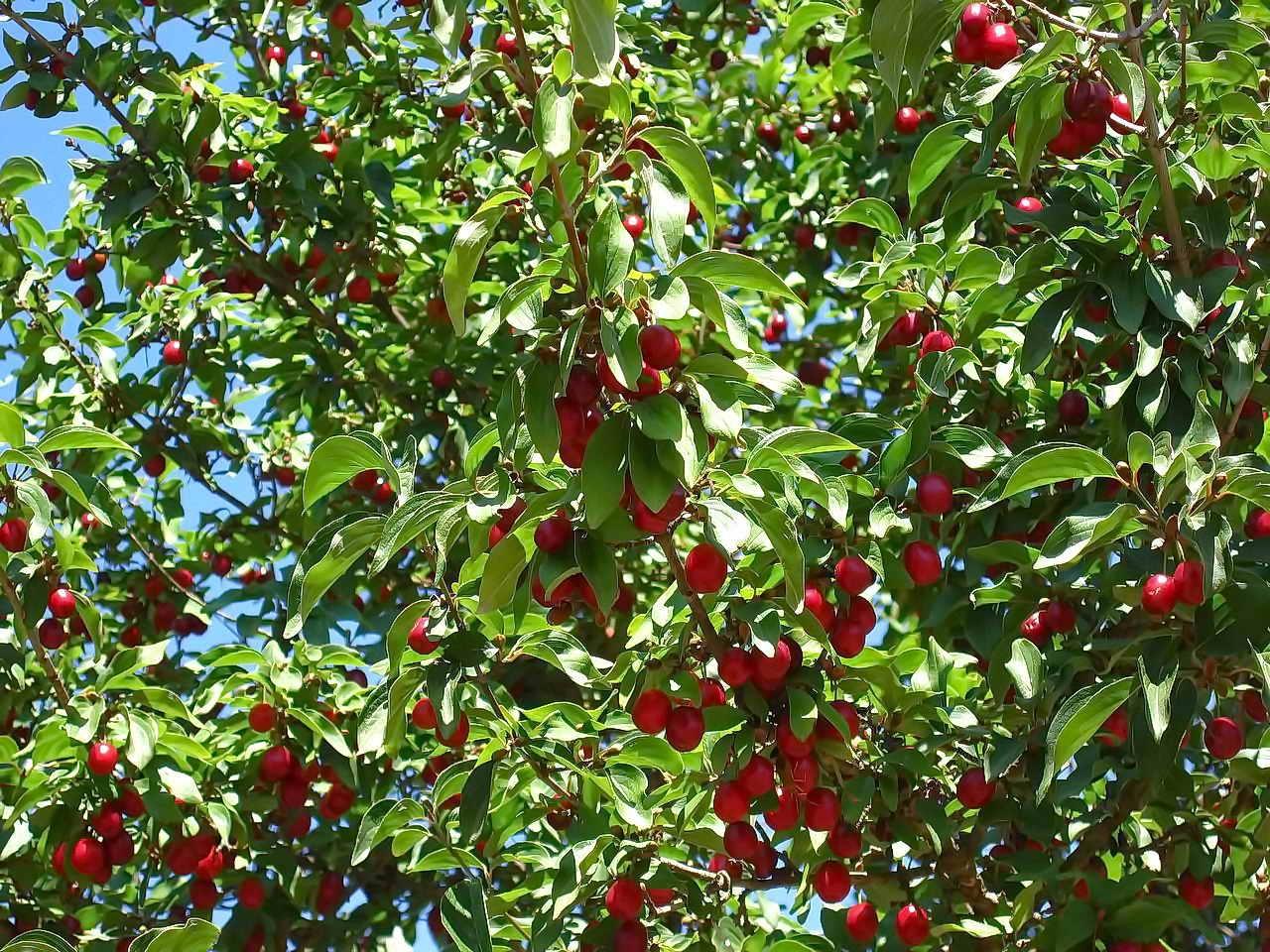 Бизнес по выращиванию вишни 44