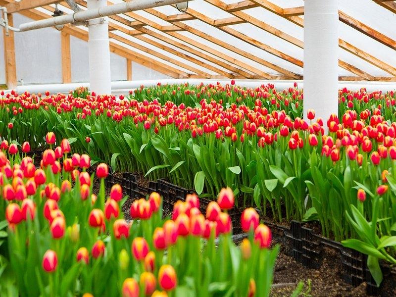 Выращивание тюльпанов для продажи 54