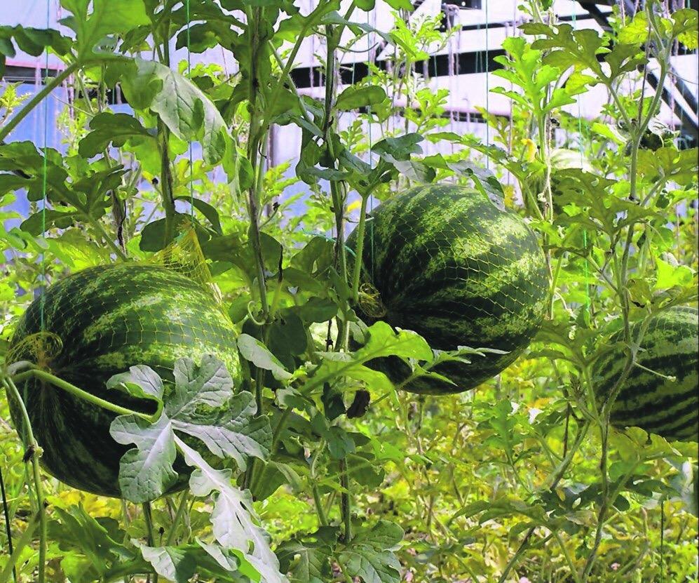 Арбуз выращивание в подмосковье 76