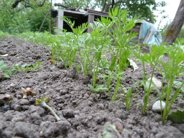 Выращивание моркови на продажу 12